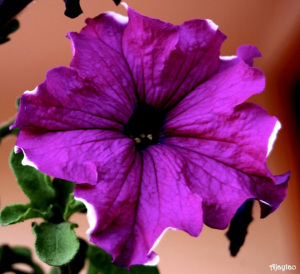 purple-glow-ajaytao1.jpg